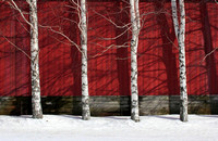 2012-02-26-0005 Birches and Red Wall