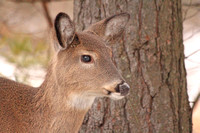 2012-01-04-0025 White Tail Deer #1
