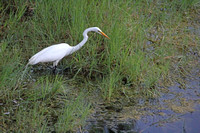 2012-04-08-0148 Great Egret in Pond #2
