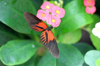 2012-04-07-0090 Heliconius Butterfly