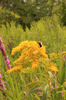 2008-08-01-0012 Bee on Canada Goldenrod (Solidago canadensis)