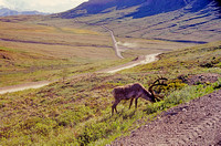 AK81-Caribou (Rangifer tarandus) on Denail National Park Road