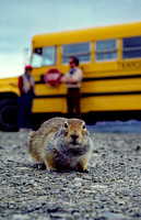AK82-Arctic Ground Squirrel (Urocitellus parryii)