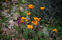 021901-04-0011 Mexican Poppies and Exserted Indian Paintbrush