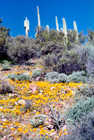 021901-02-0003-Saguaro and Poppies