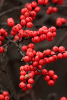 2013-11-09-0028 Winterberry (Hex verticillata)