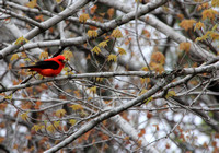 2014-05-15-0066-1 Scarlet Tanagers (Piranga olivacea)