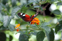 2012-04-07-0046 Longwing Butterfly (Heliconius)