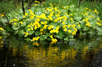 2009-05-28-0004 Marsh Marigold (Caltha palustris)
