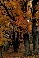 2013-10-31-0013 Fall Maples