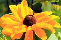 2012-06-03-0018 Black Eyed Susan